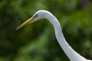 26-8E4T6007-Great egret